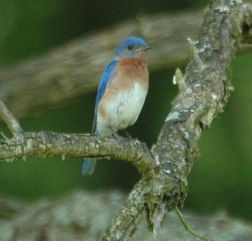 Bluebirds to Warblers